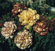 Carnation - Sprite Mix - Appx 120 seeds - Hardy Annual